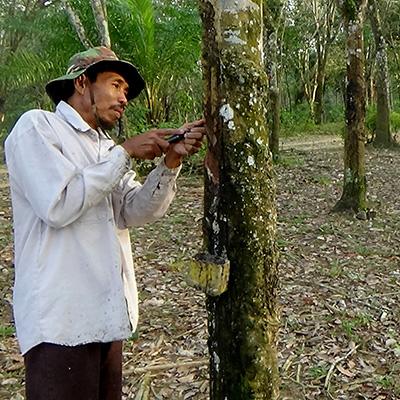 Embrapa desenvolve manual de heveicultura para o Acre